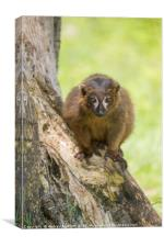Red Bellied Lemur, Canvas Print