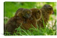 Red Bellied Lemur family, Canvas Print