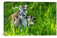 RIng Tailed Lemur family, Canvas Print