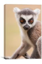 Ring Tailed Lemur baby, Canvas Print