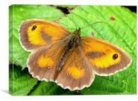 Gatekeeper butterfly, Canvas Print