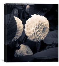 Velvet flower in bloom, Canvas Print