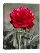 Red Peony, Canvas Print