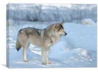 Wolf, Canvas Print