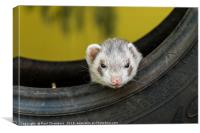 Ferret in a car tyre, Canvas Print