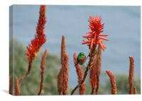 Sunbird on Flower at Cape Point, Canvas Print
