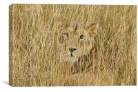 Wild Lion close up, Canvas Print