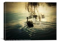 Swan on the river Calder, Wakefield               , Canvas Print