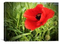 Poppy in a field.                               , Canvas Print
