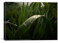 Raindrops on a leaf., Canvas Print