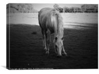 Grazing Horse.                               , Canvas Print