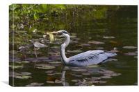 Grey heron feeding in Wales, Canvas Print