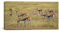 Springbok, Canvas Print