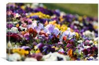 Viola tricolor, Canvas Print
