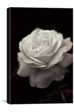 Black and White Rose, Canvas Print