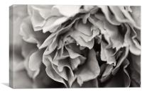 Black and White Peony, Canvas Print