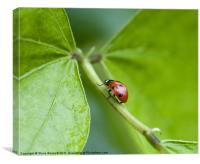 Lady Bug, Canvas Print