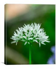Wild Garlic Flower, Canvas Print