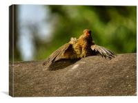 robin with heatstroke                          , Canvas Print
