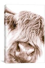 Hairy Coo Collection 6 of 7, Canvas Print