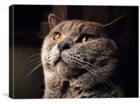 British Blue Shorthair Cat , Canvas Print