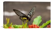 Golden Birdwing Butterfly, Canvas Print