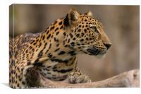 Panthera pardus #2, Canvas Print