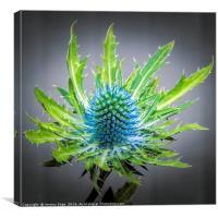 Blue Eryngium, Canvas Print