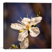 Blooming Blossom, Canvas Print