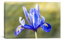 Blue Iris, Canvas Print