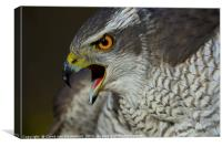 Northern Goshawk, Canvas Print