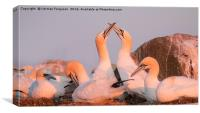 Gannets in Evening Light