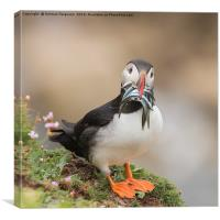 Puffin with 9 sand eels