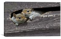2 Squirrels in my shed, Canvas Print