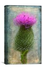 Scotch Thistle, Canvas Print