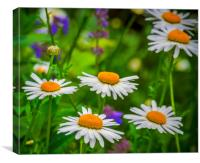 Wild Daisy, Canvas Print