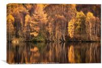 Autumn Birch, Canvas Print