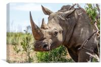 White Rhinoceros, South Africa, Canvas Print