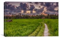 Sunset over Rice Fields, Canvas Print