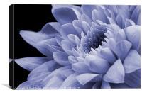 Chrysanthemum in purple., Canvas Print