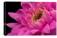 Chrysanthemum in pink., Canvas Print