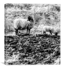 Ewe and Lamb at Whinlatter Pass., Canvas Print