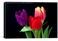 Three colourful Tulips on Black, Canvas Print