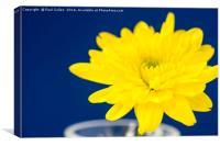 Yellow Chrysnthemum on a blue background., Canvas Print