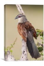 White Browed Coucal, Canvas Print