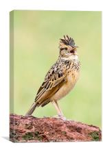 Singing For His Supper; Crested Lark, Canvas Print