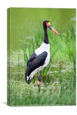 Saddle Billed Stork, Canvas Print