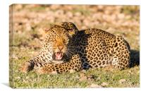 Leopard At Rest., Canvas Print