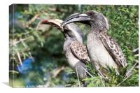 Hornbills at Lunch., Canvas Print