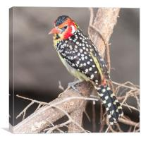 Red & Yellow Barbet (Trachyphonus erythrocephalus), Canvas Print